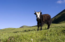 Yak in mountain Royalty Free Stock Photo