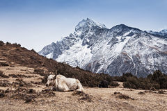 Yak and mountains Royalty Free Stock Image