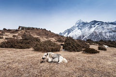 Yak and mountains Stock Photography