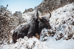 Yak and mountains Royalty Free Stock Photos