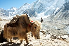 Yak in mountains Stock Images