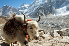 Yak in mountains Royalty Free Stock Images