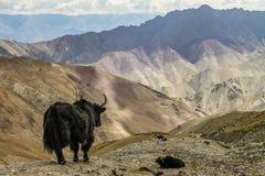 Yak in the mountains-Himalayas,Leh,Ladakh,India Stock Photos