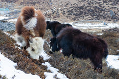 Yak in the mountains Royalty Free Stock Photos