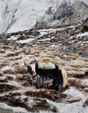 Yak in the mountains Royalty Free Stock Photography