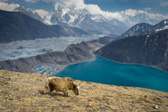Yak na Gokyo Ri, Everest region, Nepal Obraz Royalty Free