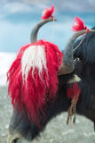Yak at the Namtso Lake in Tibet Royalty Free Stock Images