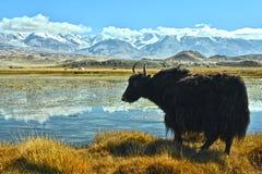 The yak near Karakul lake Stock Photos