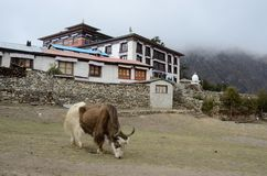 Yak near Tengboche buddhist monastery ,Everest region Royalty Free Stock Images