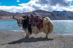 Yak nel lago Pangong in Ladakh, India Immagine Stock