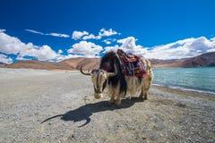 Yak nel lago Pangong in Ladakh, India Immagine Stock Libera da Diritti
