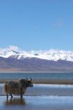 Yak nel lago santo tibetano Immagine Stock Libera da Diritti