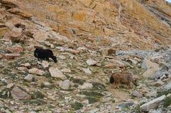 Yak nella valle vicino a Khardungla, Ladakh, India Immagine Stock
