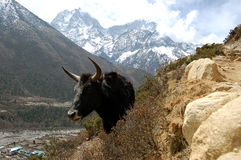 Yak in Nepal. Yak - most common transport animal in Nepalese Himalayas Royalty Free Stock Images