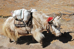 Yak in Nepal Royalty Free Stock Photo