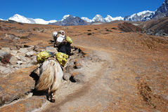 Yak in Nepal Royalty Free Stock Photography