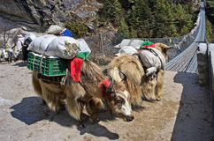 Yak  in Nepal Stock Images
