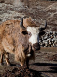 Yak in Nepal Stock Photo