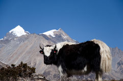 Yak - Nepal Stock Photos