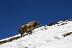 Yak from nepal in everest  trek Royalty Free Stock Images