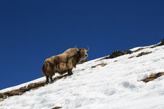 Yak from nepal in everest  trek Stock Images