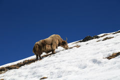 Yak from nepal in everest  trek Stock Image