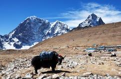 Yak in Nepal Stock Photos