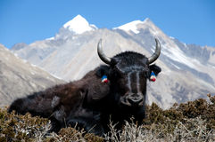Yak - Nepal Royalty Free Stock Photos