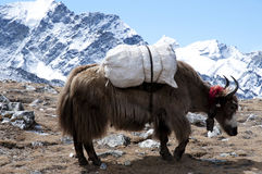 Yak - Nepal Royalty Free Stock Image