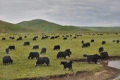 Yak neri sulle colline verdi in Cina fotografia stock libera da diritti