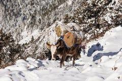 Yak och berg Royaltyfria Foton