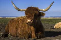Yak oxen relaxing in a marsh stock photo