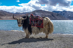 Yak på Pangong sjön i Ladakh, Indien Fotografering för Bildbyråer