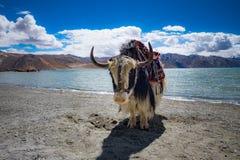 Yak på Pangong sjön i Ladakh, Indien Royaltyfri Bild