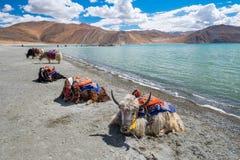 Yak på Pangong sjön i Ladakh, Indien Arkivbilder