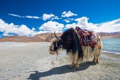 Yak på Pangong sjön i Ladakh, Indien Royaltyfri Fotografi