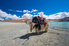 Yak at Pangong Lake in Ladakh, India. Pangong Lake or Tso Pangong is an endorheic lake in the Himalayas situated at a height of about 4,350 m 14,270 ft. It is Royalty Free Stock Image