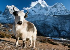 Yak on pasture and ama dablam Royalty Free Stock Images