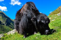 Yak on a pasture Stock Photo