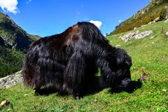 Yak on a pasture Royalty Free Stock Photo