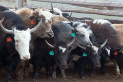 Yak pastures of Mongolia Stock Photography