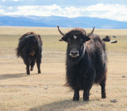 Yak pastures of Mongolia Stock Image
