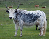 Yak pastures of Mongolia Stock Images