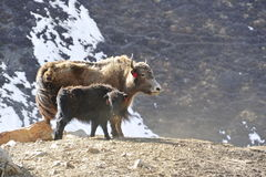 Yak with pupil Royalty Free Stock Photography