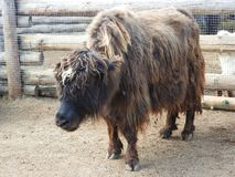 Yak resting on the farm on a hot summer day stock photography
