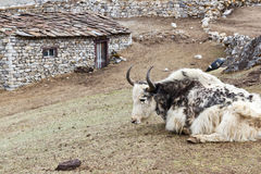 Yak resting next to Sherpa house. Yak in the Khumbu region resting in the grass next to a sherpa house Stock Photography