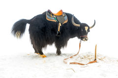 Yak with saddle standing and raised tail in the snow is stock image