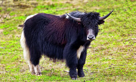 Yak. This is the Shangri-La in Yunnan, China National Forest Park Pudacuo shot yak Royalty Free Stock Photo