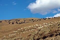 Yak and sheep Royalty Free Stock Image