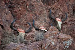 Yak skulls decorated with Buddhist mantras Royalty Free Stock Photography